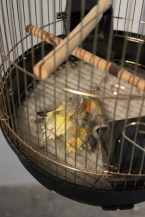 Let me tuck you in, my Chico 2013 Peach-face lovebird's feather, Cage